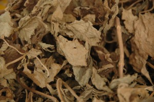 Dried Patchouli